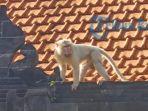 monyet-putih-saat-berada-disekitar-pura-selonding-desa-adat-pecatu.jpg