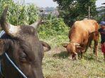 nah-sapi-limosin-ini-memiliki-berat-1-ton-lebih-dan-telah-terjual-dengan-harga-rp-80-juta.jpg