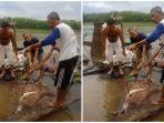nelayan-kabupaten-muba-mendapat-ikan-pari-sungai-seberat-200-kg.jpg