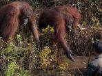 orangutan-di-kalimantan.jpg