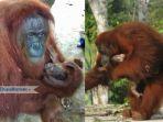 orangutan-di-taman-safari-lagoi-bintan_20181006_131359.jpg