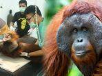 orangutan-dibrondong-peluru-24-kali-10-fakta-orangutan.jpg