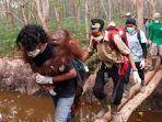 orangutan-dievakuasi.jpg