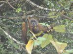 orangutan123.jpg