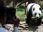 panda-taman-safari-indonesia-selesai-di-karantina_20171102_174333.jpg