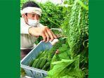 panen-sayur-pare-di-okinawa.jpg