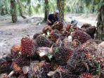 panen-tandan-buah-segar-kelapa-sawit13.jpg