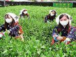 Para Wanita Cantik di Jepang Mulai Memetik Teh Uji, Sebagai Tanda Perayaan Musim Semi