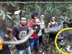 penangkapan-ular-piton-raksasa-8-meter-oleh-warga-maluku-sampai-di-desa-dimasak-lalu-dimakan_20180430_103452.jpg