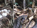 penemuan-telur-ular11.jpg