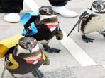 penguin-ke-sekolah-di-perfektur-miyazaki-jepang_20150402_071730.jpg