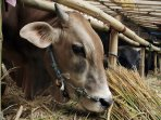 penjual-hewan-kurban-sapi-bandung_20160826_143156.jpg