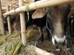 penjual-hewan-kurban-sapi-bandung_20160826_143347.jpg