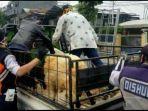 penumpang-pikap-rela-duduk-bersama-beberapa-ekor-domba.jpg