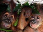 penyelundupan-bayi-orangutan-di-medan-berhasil-digagalkan_20160728_001821.jpg