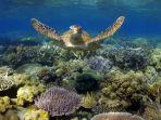 penyu-di-great-barrier-reef-australia.jpg