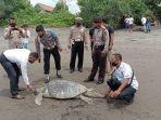 Bangkai Penyu Sepanjang 1 Meter Ditemukan di Pantai Yehembang Bali