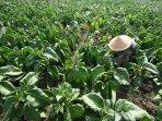 perawatan-tanaman-tembakau-di-malang_20150910_164055.jpg