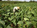 perawatan-tanaman-tembakau_20150910_163919.jpg