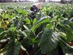 perawatan-tanaman-tembakau_20150910_163940.jpg