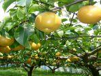 perkebunan-buah-pir-di-jepang.jpg