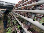 permintaan-sayur-hidroponik-meningkat-selama-pandemi-covid-19_20200626_225149.jpg