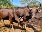 pertama-di-indonesia-banteng-hasil-perkembangbiakan-eksitu-kembali-ke-habitat-alaminya.jpg
