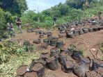 Antisipasi Penyalahgunaan Lahan untuk Ganja, Perhutani Perketat Pengawasan Kawasan Hutan