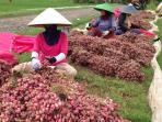 petani-bawang-merah-di-pemalang-n1_20160202_124221.jpg