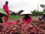 petani-bawang-merah-pemalang2_20160203_080028.jpg