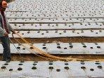 petani-cabe-menggunakan-mulsa-plastik-untuk-kurangi-penguapan_20150924_222214.jpg