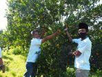 petani-jeruk-petik-di-desa-selorejo-kecamatan-dau-kabupaten-malang.jpg
