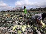 petani-kembali-beraktivitas-pasca-erupsi-gunung-sinabung_20170803_203155.jpg