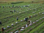 petani-kendal-panen-bawang-merah_20210505_120921.jpg