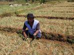 petani-nawungan-menunjukkan-lahan-pertanian-bawang-merah-yang-terserang-hama_20180924_222753.jpg