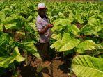 petani-sedang-memanen-tembakau-di-perkebunan-tembakau-di-desa-citaman.jpg