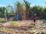 petani-tebu-di-indonesia.jpg