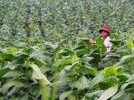 petani-tembakau-di-bandung_20160209_200747.jpg