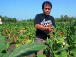 petani-tembakau-lokal-menghadapi-ancaman-serbuan-tembakau-impor_20160412_095720.jpg