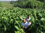 petani-tembakau-sumedang-siap-panen-tembakau-istimewa_20201021_191011.jpg