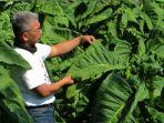 petani-tembakau-sumedang-siap-panen-tembakau-istimewa_20201021_191013.jpg