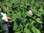 petani-tembakau-sumedang-siap-panen-tembakau-istimewa_20201021_191015.jpg