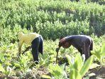petani-tembakau13.jpg