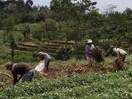 Harga Ubi Jalar Anjlok, Yuk Bantu Petani Ini Penuhi Kebutuhan Hidup!