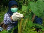petugas-dari-uptd-bptp-dinas-pertanian-diy-tengah-mengambil-serangga-belalang-setan_20180126_163913.jpg