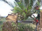 petugas-pamhut-menebang-pohon-sawit_20171130_145310.jpg