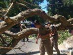 pohon-7-meter-roboh-di-tengah-jalan-kota-mojokerto.jpg