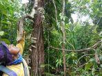 pohon-bajakah-ditemukan-di-hutan-rawa-singkil-aceh.jpg