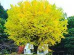 Pohon Bulan Purnama Jepang Jadi Daya Tarik Turis ke Tokushima