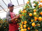 pohon-jeruk-imlek_20180209_161736.jpg